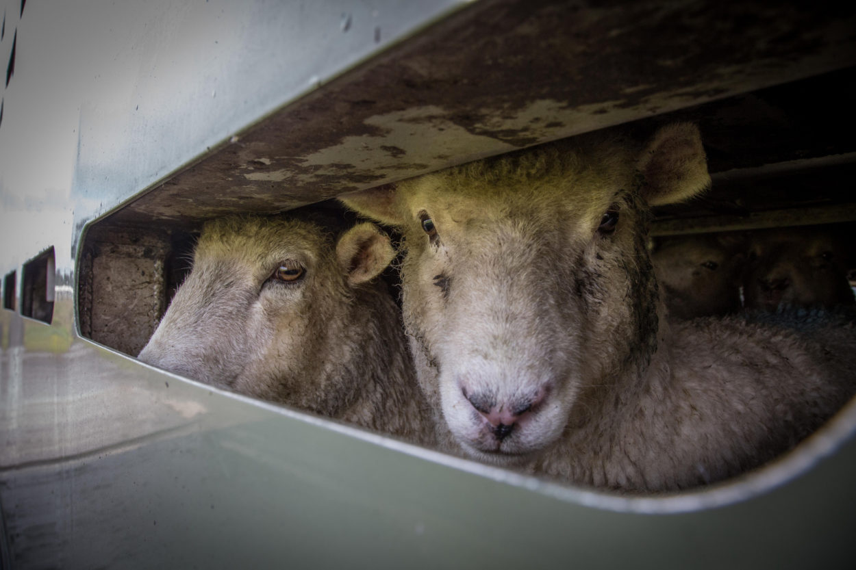 Brexit will finally allow us to end the suffering caused by live animal exports